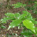 Prunus lusitánica