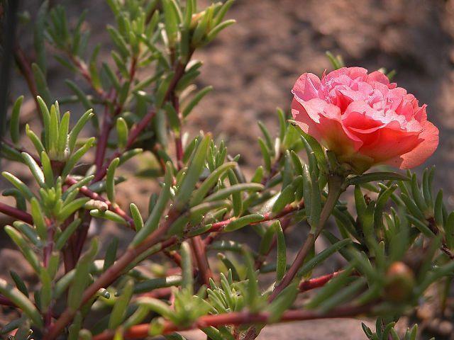 Detalles de la Portulaca grandiflora