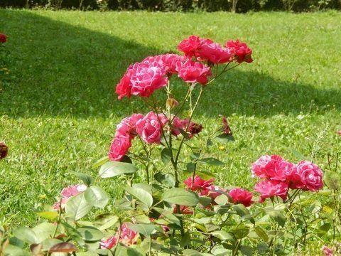 Rosal mini