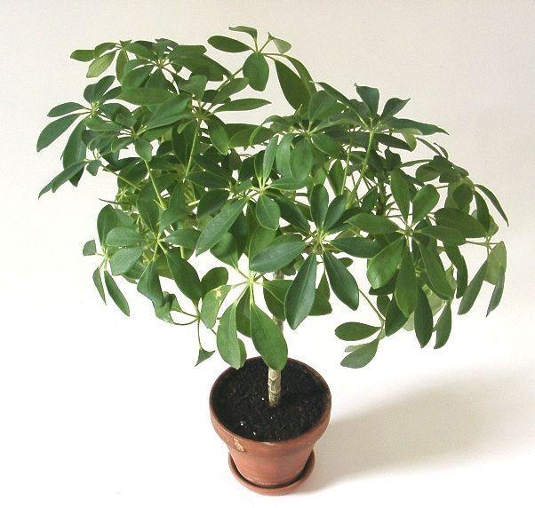 Cuidados de la Schefflera arboricola