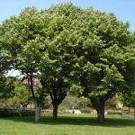 El árbol del Tilo