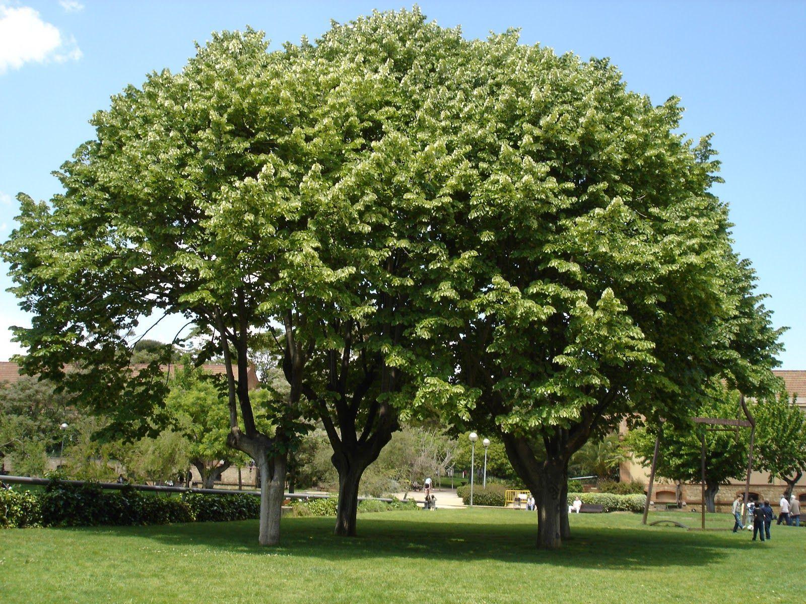 El arbol del tilo cuidados de la planta y su cultivo for Arboles de hoja perenne wikipedia