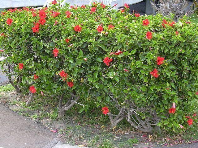 Cuidados de la Hibiscus rosa-sinensis