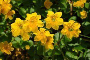 Flores Caltha palustris