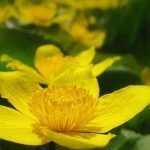 Caltha palustris en los estanques