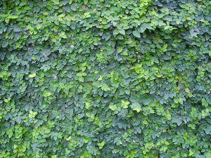 Ficus Pumpila