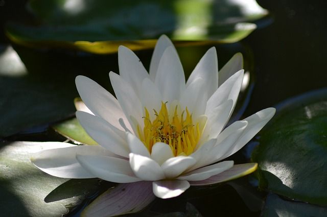 Nymphaea thermarum lirio