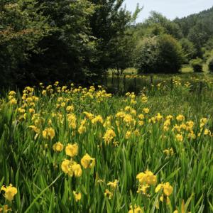 Características del pseudacorus iris