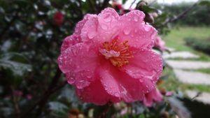 Detalles de la Camellia japonica