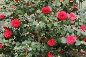 Cuidados de la Camellia japonica