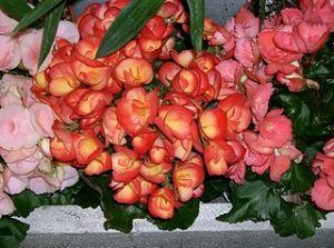 Detalles de la Begonia elatior