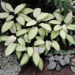 Dieffenbachia camila