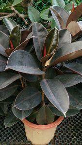 Cuidados de la Ficus robusta
