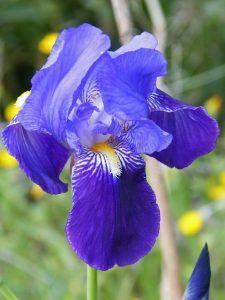 Características de la Iris germanica