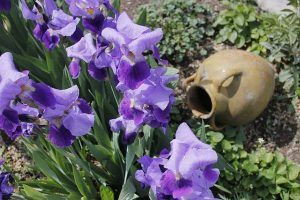 Cuidados de la Iris germanica