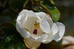 Características de la Magnolia grandiflora