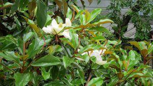 Cuidados de la Magnolia grandiflora