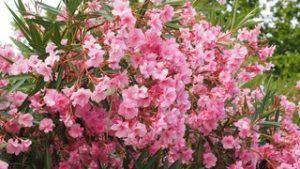 Cuidados de la Nerium oleander