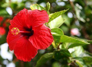 Características del Hibiscus