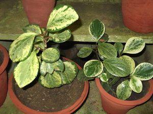 Cuidados de la Peperomia obtusifolia