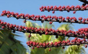Características de la Schefflera actinophylla