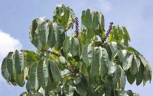 Cuidados de la Schefflera actinophylla