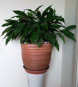 Cuidados del Spathiphyllum wallisii