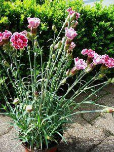 Cuidados del Dianthus caryophyllus