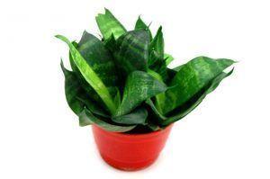 Plantas verdes de interiores