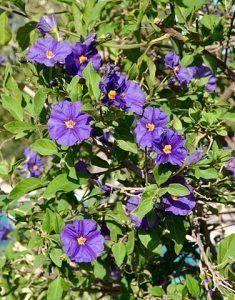 Cuidados del Solanum rantonnetii