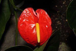 Detalles del Anthurium andreanum