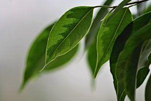Detalles del Ficus benjamina trenzado