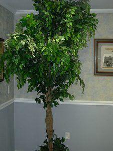 Cuidados del Ficus benjamina trenzado