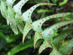 Características de la Nephrolepis cordifolia