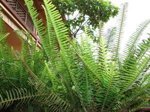 Cuidados de la Nephrolepis cordifolia