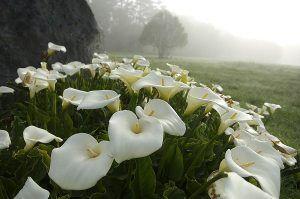 Cuidados de Zantedeschia aethiopica